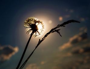 Dandelion Sun With Grass
